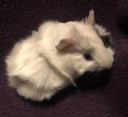 Marshmallow - Available form Foster!
