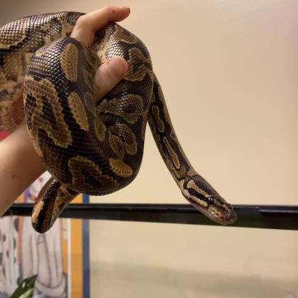 William Snakespeare - With Video!