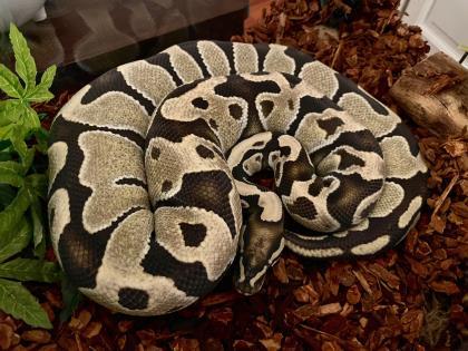 Snake 1 - Adoption Hold