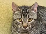 Male Cat, Domestic Shorthair, Mix
