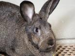 Female Rabbit, Californian, Mix