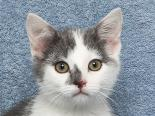 Female Cat, Domestic Shorthair, Mix