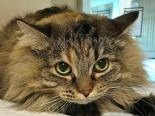 Female Cat, Domestic Longhair, Mix