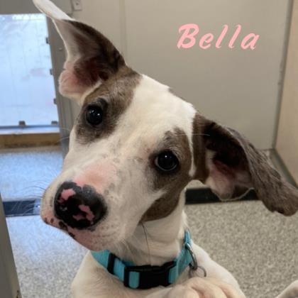 Bella Hound