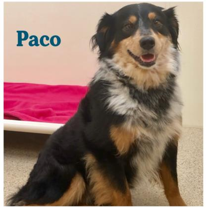 Paco Aussie