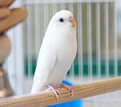 Snow w/ Buddy Bird Budgie/Budgerigar